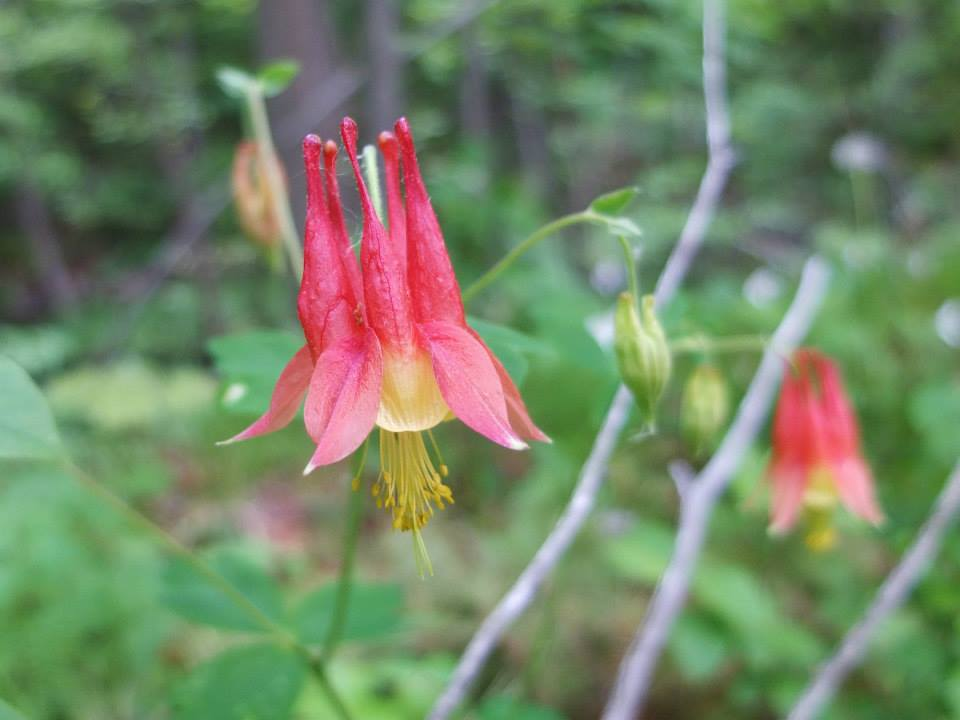 American Columbine at Sudden Tract.