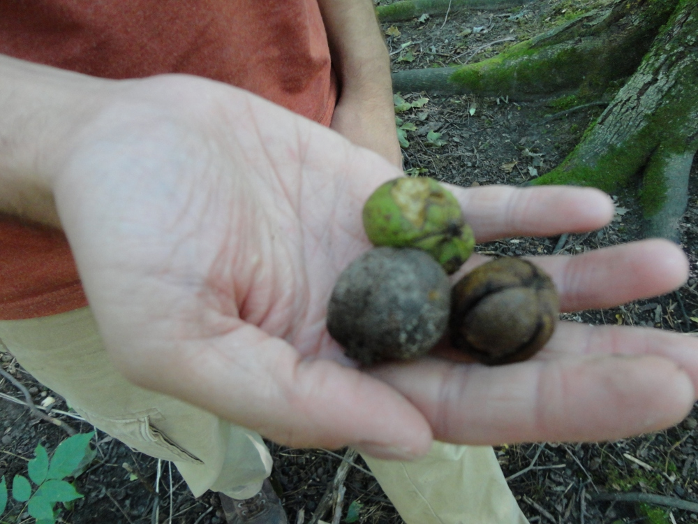 Red hickory nuts at Dryden Tract.