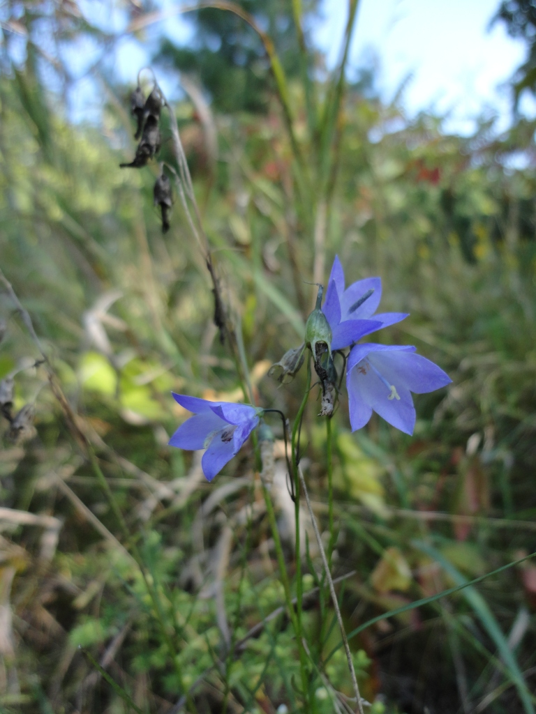 American bellflower at Dryden Tract.