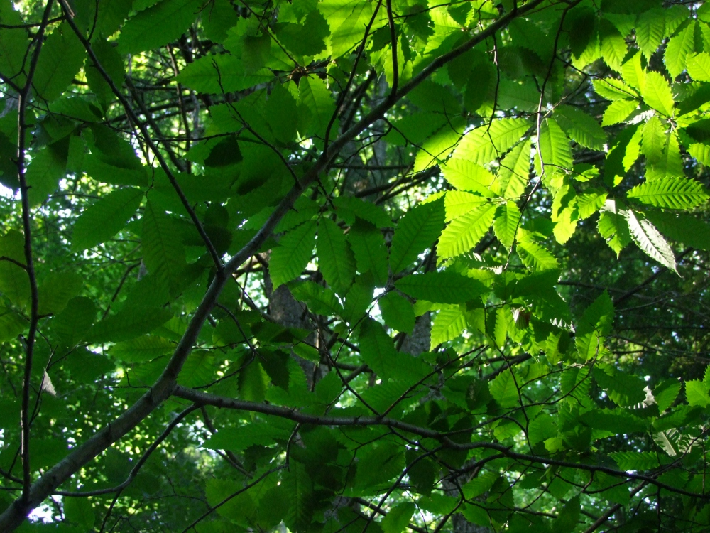 "The ""American Sweet Chestnut"" is the native tree; ""American Horse Chestnut"" is a cultivated, non-native variety."