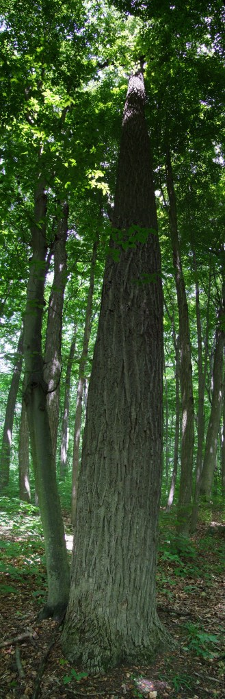 The height of the sassafras trees in Backus Woods is incredible. Photo courtesy of William Van Hemessen.