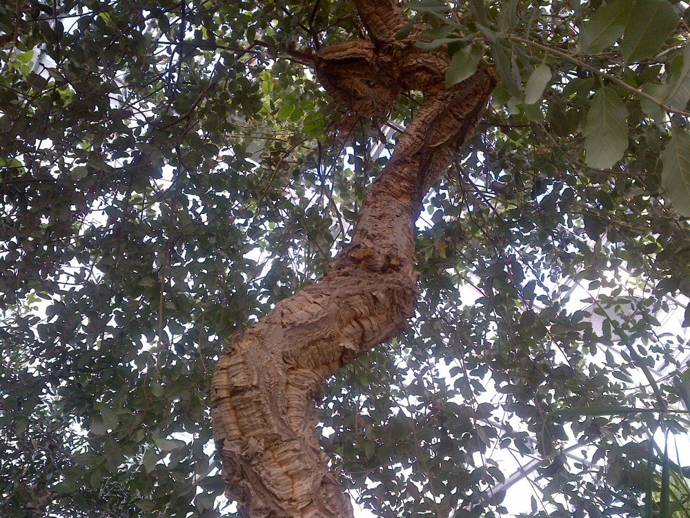 The Cork Oak.