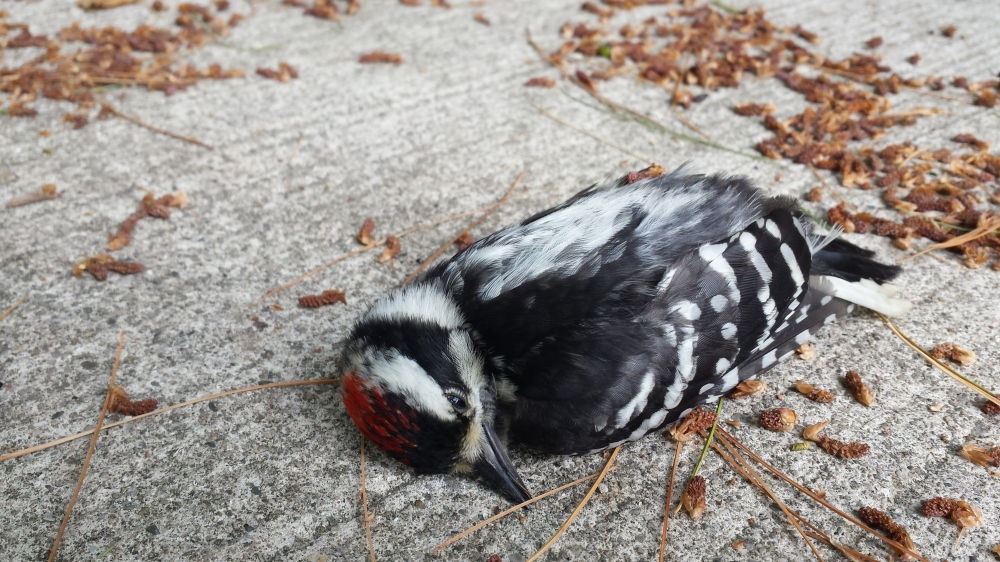 Exquisitely beautiful in death; this woodpecker was buried in a respectful ceremony.