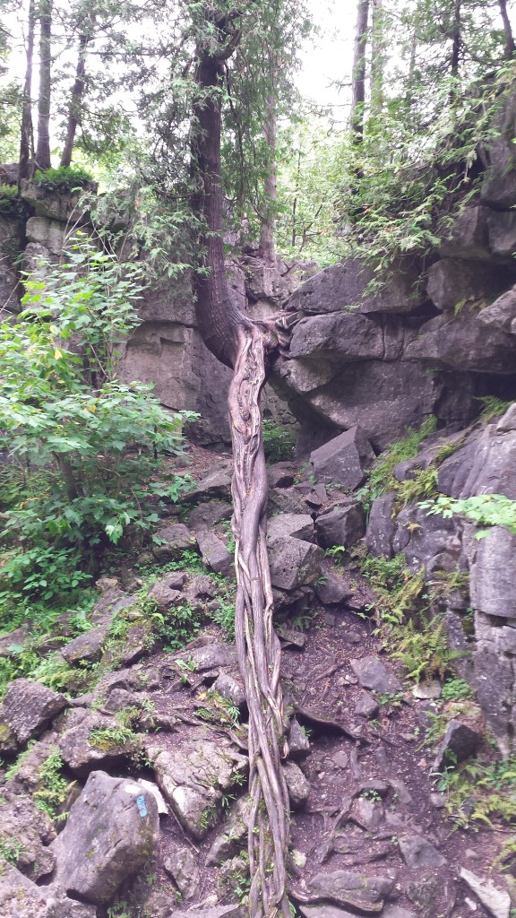 This cedar root grew into a neat structure.
