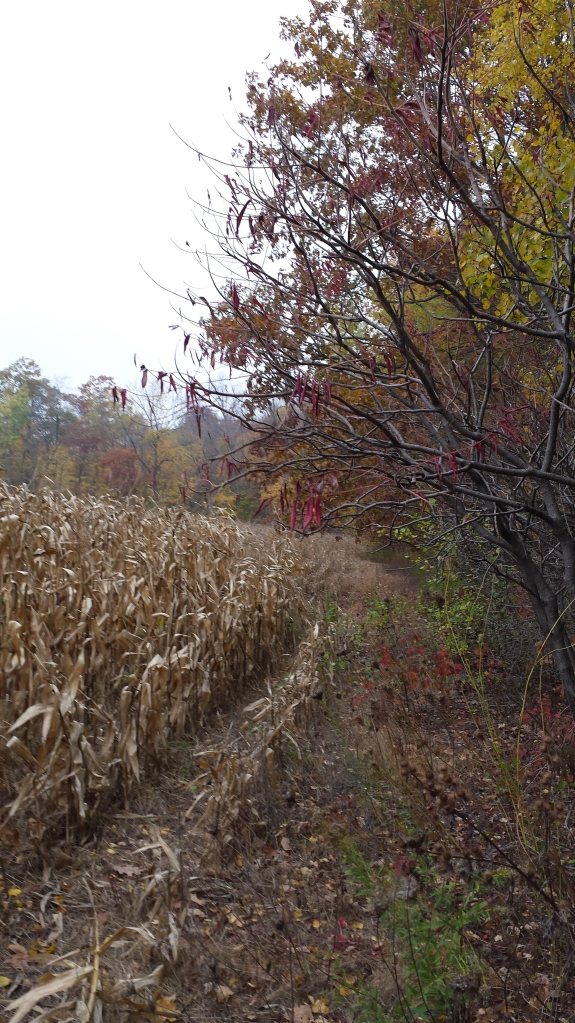 I assisted in some field research last weekend, which involved some wandering near a creepy corn field.