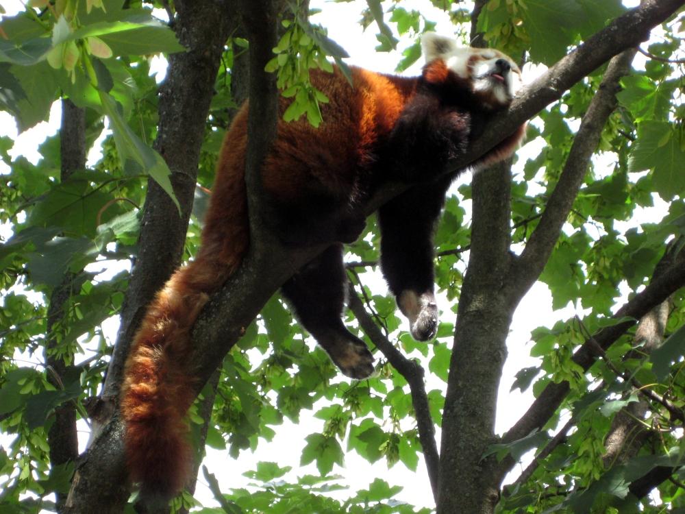 Tiergarten_Schoenbrunn_Kleiner_Panda_2